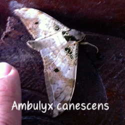 Ambulyx canescens