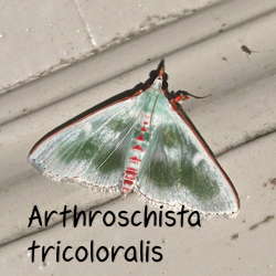 Arthroschista tricoloralis